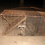 Raccoon Witness Protection Relocation Program