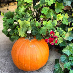 Geraniums and Pumpkins ~ On the Cusp of Change