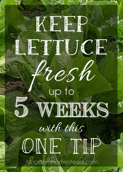 Lettuce Tip