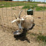 This is why we don't have goats…